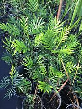 Japanese Fern Tree Seedlings  12-14 tall 1 gallon container,  beautiful trees