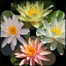 Mixed WATER LILY PLANTS 4 Colours Temperate Hardy Varieties - Nymphaea - Ponds