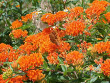 50 Asclepias tuberosa Butterfly Milkweed Seeds (Monarch Host Plants) - COMB S/H