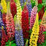 Seeds Lupin Mix Large Perennial Outdoor Beautiful Garden Cut Organic Ukraine