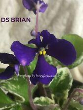 African Violet Plant * Ds-Brian * Russian/Ukrainian- Semi-Miniature- Wasp
