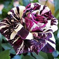 30x Drachen weiß - Schwarz Rose Streifen Seeds Pflanze Rarität Blumen Rosen H3P0