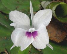 New listing Kencur - Kaempferia galanga – Rhizome/Plant