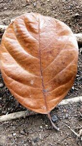 100Pcs Dried Jackfruit Leaves Organic Bio Film Shrimp Aquarium Ceylon Natural