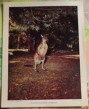 195la Faune Australienne : le Kangourou