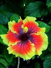 50 Tropical Giant Hibiscus Flower Seeds Garden & Home Perennial Flower