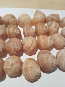 Shells -190 Large Escargot/Snails Shells for Shelldwelling Cichlids / Tank Decor