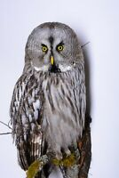 Taxidermy Great grey Owl Bird of prey Real Stuffed mounted