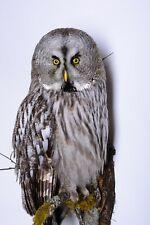 Taxidermy Great grey Owl Bird of prey Real Stuffed mounted