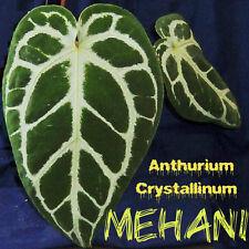 ~MEHANI~ Anthurium Crystallinum Velvet Veined Leaf Collector's LIVE AROID PLANT