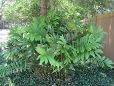 Cardboard Palm - Zamia furfuracea - Starter Plant