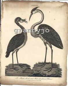 Original 1807 Copperplate Engraving of The Black Stork & Red Shoulder Heron, # 3
