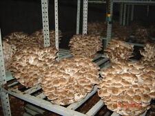 10gr/0.4(oz.)SHIITAKE Mushroom ,Mycelium Spawn Dried Seeds for logs and supstrat