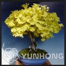 Ginkgo Biloba Plants 5 Pcs Seeds Perennial Flowers Tree Golden Garden Bonsai N