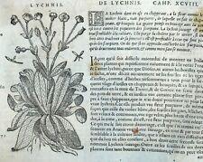 Flor Lychnis Lys Botánica Matthioli Mattioli Matthiole Dioscorides