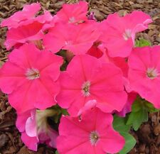 Petunia Seeds 50 Pelleted Seeds Logro Floribunda Pink