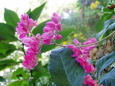 Antigonon leptopus Chinese Love Vine Pink 10 seeds