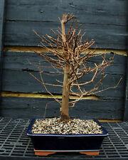 Bonsai Tree Dawn Redwood DR-220F
