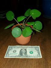 "Pilea Peperomioides 'Chinese Money' - 4"" Pot"