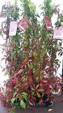 Wilder Wein  Parthenocissus quinquefolia 'Engelmannii'  3 Pflanzen a.100cm !!!