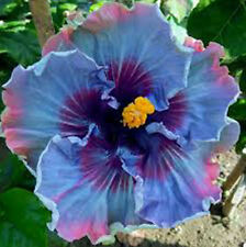 Giant Hibiscus Exotic Coral Flower 100 Seeds Mix Rare Blue Colors Flower Decor