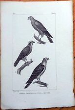 L'Oiseau St. Martin, La Sobuse, Le Busard - 1830s French Bird Print