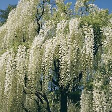5 White Chinese Wisteria Seeds Vine Climbing Flower Perennial Rare Tropical 682