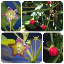 Capsicum eximium seltene Chili aus Bolivien Wildsorte Wildchili