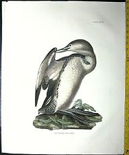 Gigantic  signed Engraving,P.J.Selby,Red Throated Diver, 1827