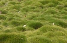 Zoysia grass seeds-Zoysia Tenuifolia-No Mow Lawn -1/8 lb-