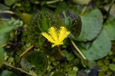 Live Yellow Snowflake Tropical Marginal Aquatic Pond Plant