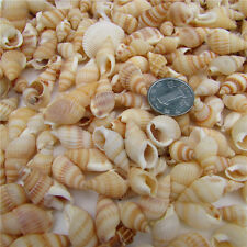 100pcs Naturalsmall Beautiful top rare real sea Shell Conch EQ0130