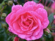 Pink Rose Flower Bush Seeds Here For You!