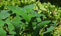 Butterfly Wing Leaf Plant Mariposa (Christia Vespertilionis) Ultra Rare 30 Seeds