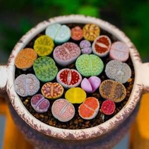Lithops Living Stones 25 Mixed Plant Seeds - Ships from Iowa, USA