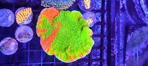OG Grafted Monti Cap ~ WYSIWYG Live Coral Frag ~
