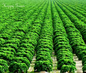 VEGETABLE - KALE - Borecole Dwarf Green Curled - 1000 seeds - Winter Hardy