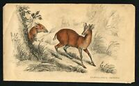 Common Duiker Antelope, Hand-Colored Antique Plate - Naturalist's Library 1836