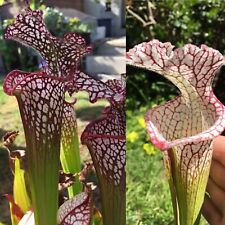 "S-017 Leucophylla 'red, Trent Meeks' x ""Purple Lips"" - Sarracenia Seed"
