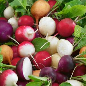 Mixed Radish Seeds x 1000 - Hailstone Scarlet Sparkler Violet Zlata Yellow UK