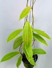 Hoya benvergarii [B29J1],1 pot rooted plant20-22 inchesUnique!