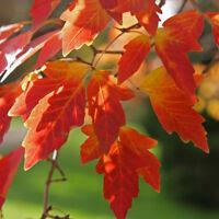 10 Semillas de Acer Griseum (Acer de papel)