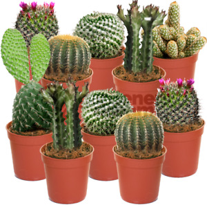 Cactus Mix - 10 Plants - House / Office Live Indoor Pot Plant - Ideal Gift