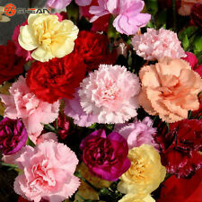 200 Mixed Color Carnation Flower Seeds Beautiful Lovely Flowers seed