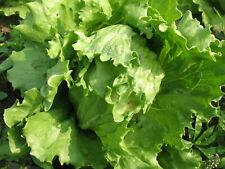 60 Graines de Laitue Iceberg Méthode BIO salade légume potager permaculture