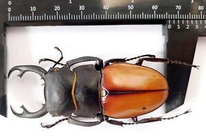 Odontolabis kirchneri 66mm from Sumatra Indonesia
