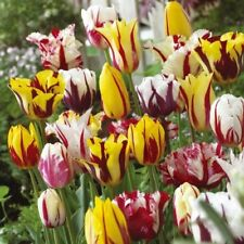 5 Rembrandt Tulips Mixed Color Flower Bulb Perennial Spring Blooming