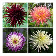 Dahlia Cactus Mix 25 seeds * Cut Flower * Easy grow * CombSH A62
