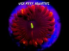 USA REEF AQUATICS -DEEP RED PEOPLE EATERS ZOANTHIDS ZOA LIVE CORAL PALY