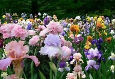 100 Iris Flower Seeds Mixed Perennial Fragrant Plant Bonsai Decor in Home Garden